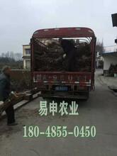 蜂糖李树苗价格,渝北蜂糖李树苗价格,蜂糖李苗哪家安全可靠图片