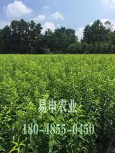 蜂糖李树苗价格,巫山蜂糖李树苗价格,蜂糖李苗种植技术图片