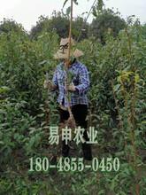 蜂糖李树苗价格,江津蜂糖李树苗价格,3公分蜂糖李苗价格图片