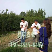 蜂糖李子树苗价格,杨家蜂糖李子树苗价格,蜂糖李苗价格及行情图片