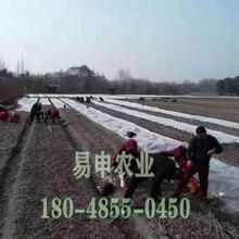 自贡五月脆李树苗厂家直销价格图片