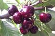 甘孜車里子樹苗價格,甘孜容易栽活的車厘子樹苗