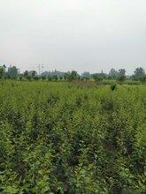 重庆万州秋月梨苗、重庆万州秋月梨苗优良品种图片