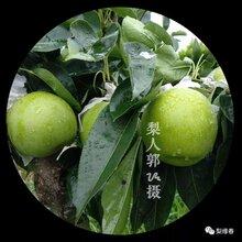 重庆南岸梨树苗,重庆南岸苏翠一号梨子树苗求购图片