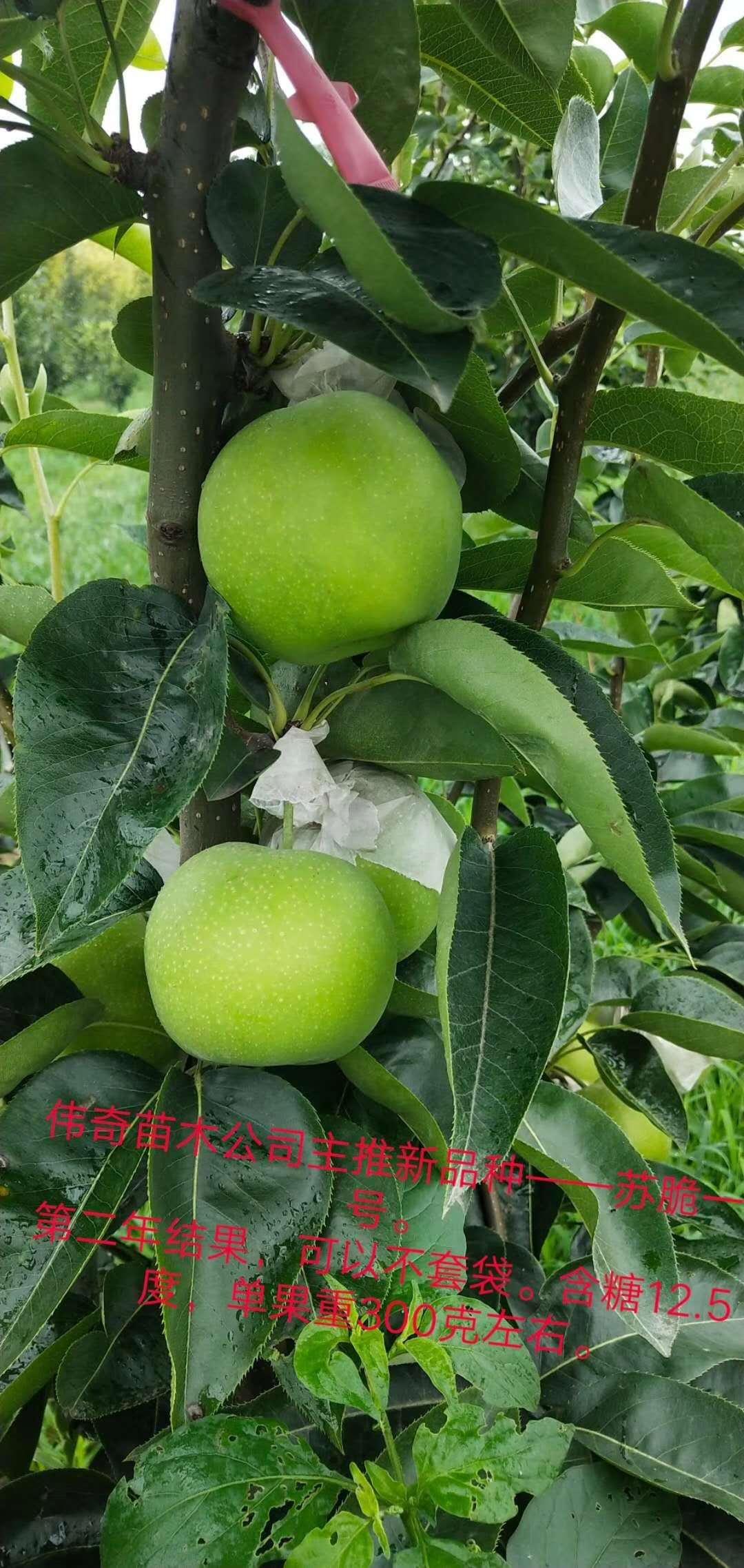 重庆合川梨苗,重庆合川苏翠一号梨树苗货源