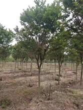 湖北2-3公分香樟种苗销售2-3公分香樟图片