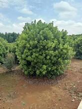 湖北3米楊梅樹種植基地2米-4米楊梅樹圖片