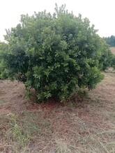 廣東3米楊梅樹多少錢2米-4米楊梅樹圖片