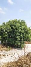 广东杨梅树种植基地图片
