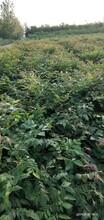 江西栾树小苗哪里有图片