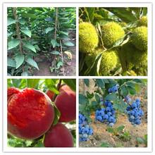 红久鲜桃树苗当年结果图片