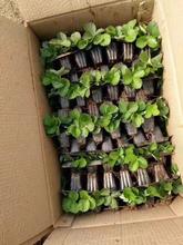 雪妹草莓苗种植时间草莓苗带土发货图片