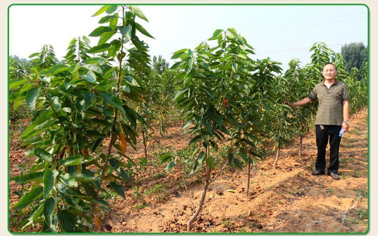 吉塞拉5号樱桃苗产品表现7公分价格