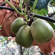 红华猕猴桃苗保证品种图片