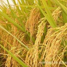 采購大量優質碎米、糯米、稻谷圖片