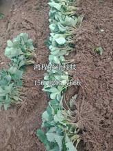 荷兰草莓苗价格图片