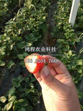 四季赛娃草莓苗多少钱图片