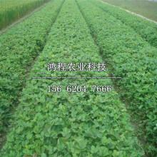 大草莓苗、大草莓苗多少钱一棵图片