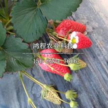 红颊草莓苗多少钱图片
