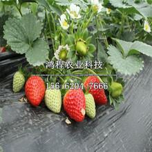 春旭草莓苗价格、春旭草莓苗多少钱一株图片