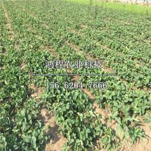 香蕉草莓苗、香蕉草莓苗供应图片