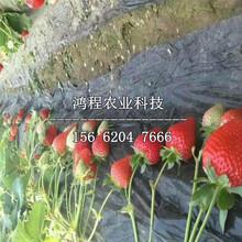 妙香六号草莓苗价格、妙香六号草莓苗多少钱图片