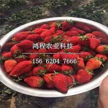 妙香二号草莓苗、妙香二号草莓苗基地图片
