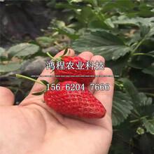 硬皮草莓苗、硬皮草莓苗报价图片