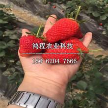 二代脱毒草莓苗、二代脱毒草莓苗多少钱一棵图片