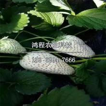 明宝草莓苗多少钱一棵图片