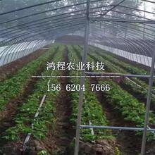 红颜99草莓苗多少钱一棵图片