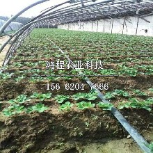 山口二号草莓苗多少钱一棵图片