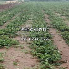 红颜99草莓苗、红颜99草莓苗出售图片