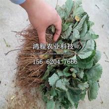 冬季草莓苗新品种图片