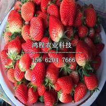 美十三草莓苗、美十三草莓苗价格图片