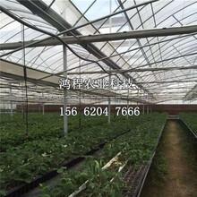 陆地草莓苗、陆地草莓苗价格图片