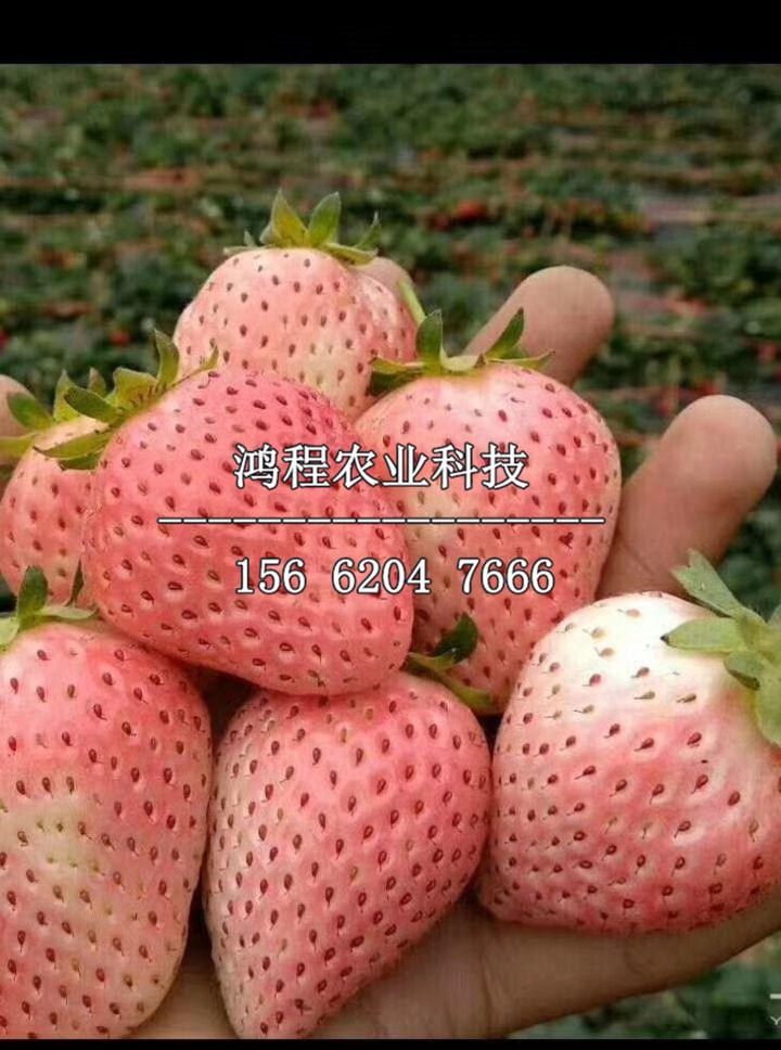 以色列三号草莓苗