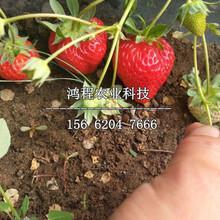 枥乙女草莓苗多少钱图片