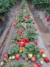 99号草莓苗价格、99号草莓苗多少钱图片