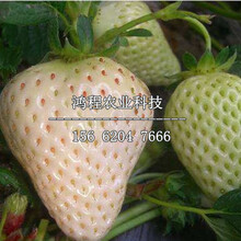 白雪天使草莓苗价格、白雪天使草莓苗多少钱一株图片
