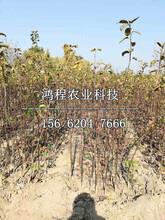 園黃梨苗圖片
