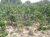 西洋梨樹苗新品種、西洋梨樹苗新品種出售