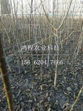 大南果梨樹苗基地圖片