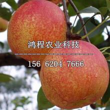 紅安久梨樹苗出售、紅安久梨樹苗出售價格圖片