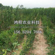 四年梨樹苗哪里銷售、四年梨樹苗哪里出售圖片
