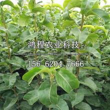 紅香梨樹苗批發、紅香梨樹苗批發價格圖片