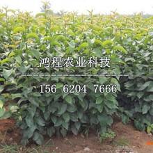 喜水梨樹苗基地、喜水梨樹苗產地圖片