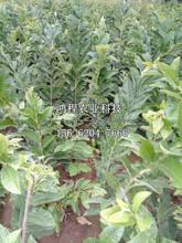 沙早二号板栗苗新品种、今年沙早二号板栗苗新品种图片