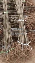 石丰板栗树苗图片