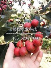 盆栽山楂苗多少钱一棵、盆栽山楂苗多少钱一株图片